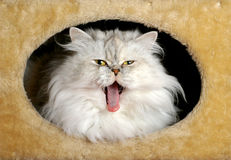 Persian cat yawning. Persian cat in a cat tree box yawning Stock Photos