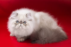 Persian cat. Young Persian cat, sitting on red  background. Not isolated. Imitation shadows from tree branches Stock Photos