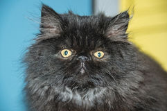 Persian cat. Stock Image
