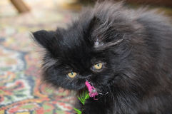 Persian cat. Stock Images