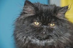 Persian cat. Royalty Free Stock Photography