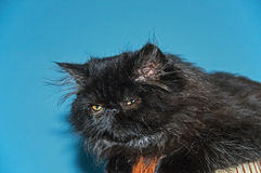 Persian cat. Stock Photography