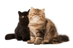 Persian cats Royalty Free Stock Photos