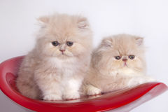 Persian cats Stock Photo