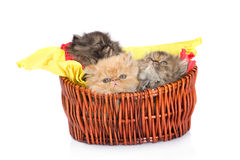 Persian cats Stock Image