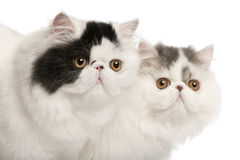 Persian cats, 6 months old Royalty Free Stock Photography