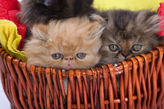 Persian cats Royalty Free Stock Photography