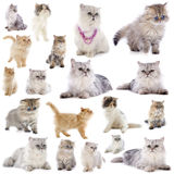 Persian cats. Group of persian cats in front of a white background royalty free stock images