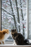 The Persian cats look out of the window on the winter park with trees. In snow Stock Photography