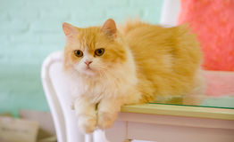 Persian cats lying on table Stock Photography