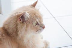 Persian cats Royalty Free Stock Image