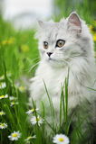 Persian chinchilla Royalty Free Stock Photography