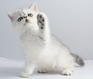 Persian Chinchilla cat Stock Photos