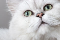 Persian chinchilla cat stock photography