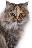 Persian Chinchilla Cat Royalty Free Stock Photography