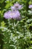 Persian Cornflower Centaurea dealbata Stock Images
