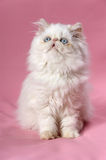 Persian cream colorpoint kitten Stock Images