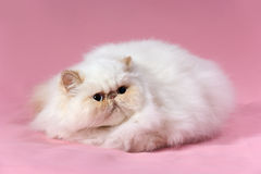 Persian cream point cat Royalty Free Stock Photo