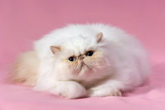 Persian cream point cat Stock Photo