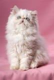 Persian cream point kitten Royalty Free Stock Photo