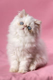 Persian cream point kitten Royalty Free Stock Image