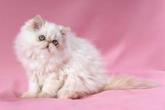 Persian cream point kitten Stock Image