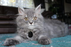 Persian cross kitten. Grey Persian cross kitten sitting regally on teal rug Stock Images