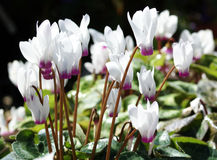 Persian cyclamen Stock Image
