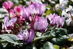 Persian cyclamen Royalty Free Stock Images