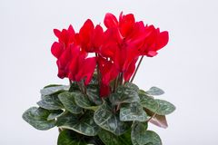 The Persian cyclamen flower. Isolated on white background royalty free stock photos