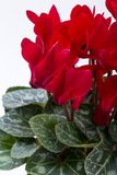 The Persian cyclamen flower. Isolated on white background stock images