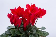 The Persian cyclamen flower. Isolated on white background royalty free stock photo