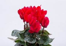The Persian cyclamen flower. On white background stock images