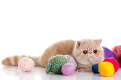 Persian exotic cat with balls of different colours Royalty Free Stock Photography