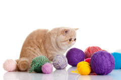 Persian exotic cat  with balls of different colours Royalty Free Stock Images