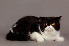Persian exotic cat on grey background pet big beautiful eyes Stock Photos