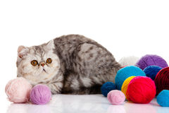Persian exotic cat isolated with balls of different colours Stock Photography