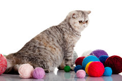 Persian exotic cat isolated with balls of different colours Royalty Free Stock Photo