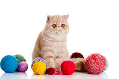 Persian exotic cat isolated with balls of different colours Stock Image