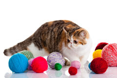 Persian exotic cat isolated with balls of different colours Stock Photos