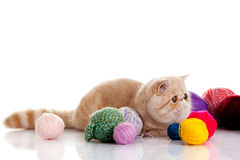Persian exotic cat isolated with balls of different colours Royalty Free Stock Images