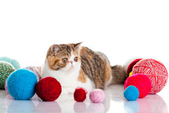 Persian exotic cat isolated with balls of different colours Royalty Free Stock Photography