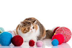 Persian exotic cat isolated with balls of different colours Stock Images