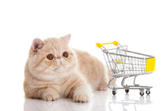 Persian exotic cat isolated with shopping trolly business concept. Persian exotic cat isolated on white background with shopping trolly big eyes pet royalty free stock photo