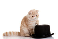 Persian exotic kitten with black hat and cat studio shot Royalty Free Stock Image