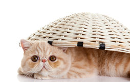 Persian exotic kitten under basket isolated cat postcard Stock Photos