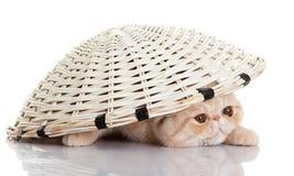 Persian exotic kitten under basket isolated cat postcard Stock Photo