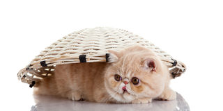 Persian exotic kitten under basket isolated on white background Royalty Free Stock Photos