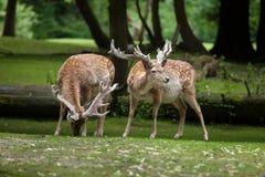 Persian fallow deer Dama dama mesopotamica. Royalty Free Stock Photography