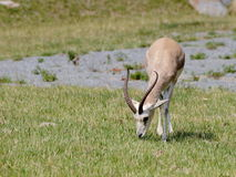 Persian gazelle (Gazella subgutturosa) grazing Royalty Free Stock Photos